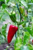Roter Pfeffer in einem Biogarten Stockbild
