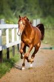 Roter Pferdelaufgalopp auf der Weide Stockfotos
