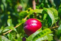 Roter Pfirsich im Baum Lizenzfreie Stockfotografie
