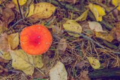 Roter Pilz, giftig Holz und Natur stockbild