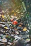 Roter Pilz im Herbstwald Lizenzfreies Stockfoto