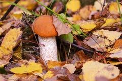 Roter Pilz unter gelbem Herbstblatt Pilz Leccinum lizenzfreie stockfotos