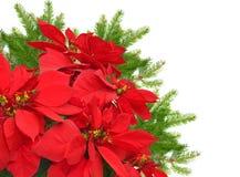 Roter Poinsettia- und Weihnachtsbaumast Lizenzfreie Stockfotos