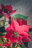 Roter Poinsettiaretrostil Stockfotos