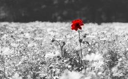Roter Poppy Flower On Black And-Weiß-Hintergrund stockfotos