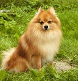 Roter rauhaariger Hund, der auf grünes Gras dem Fa hübschen reinrassigen Spitzs liegt Stockbild