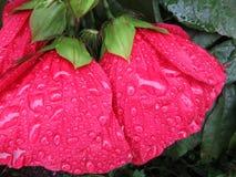 Roter Regen getränkte Hibiscus-Blumen stockfotos