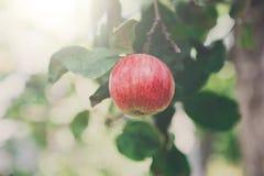 Roter reifer Apfel auf Niederlassungsnahaufnahme des Baums im Garten Lizenzfreie Stockfotografie