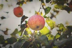Roter reifer Apfel auf Niederlassungsnahaufnahme des Baums im Garten Lizenzfreie Stockfotos