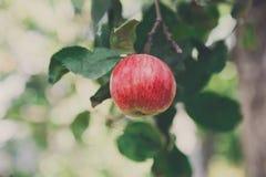 Roter reifer Apfel auf Niederlassungsnahaufnahme des Baums im Garten Stockbild