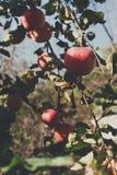 Roter reifer Apfel auf Niederlassungsnahaufnahme des Baums im Garten Stockfoto