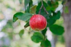 Roter reifer Apfel auf Niederlassungsnahaufnahme des Baums im Garten Lizenzfreie Stockbilder