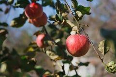Roter reifer Apfel auf Niederlassungsnahaufnahme des Baums im Garten Stockfotografie