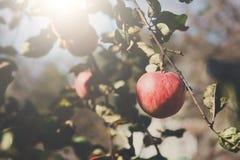 Roter reifer Apfel auf Niederlassungsnahaufnahme des Baums im Garten Stockfotos