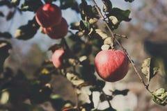Roter reifer Apfel auf Niederlassungsnahaufnahme des Baums im Garten Stockbilder