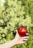 Roter reifer einzelner Apfel in der schönen Hand Stockfoto