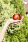 Roter reifer einzelner Apfel in der schönen Hand Stockbilder