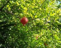 Roter reifer Granatapfel, der an einer Niederlassung unter grünen Blättern hängt Stockfotos