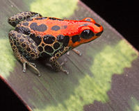 Roter retikulierter Giftpfeilfrosch Stockfotos
