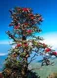 Roter Rhododendron Stockbilder