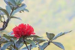 Roter Rhododendron Lizenzfreie Stockfotos