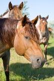 Roter roan Stallion Stockbilder