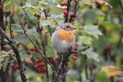 Roter Robin stockfotos