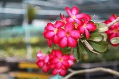 Roter rosa Adenium in der Betriebskindertagesstätte Lizenzfreie Stockfotografie