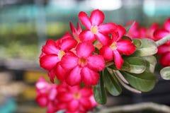Roter rosa Adenium in der Betriebskindertagesstätte Stockbilder