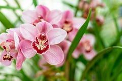 Roter rosa Boots-Orchidee Cymbidium stockbild
