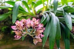 Roter rosa Boots-Orchidee Cymbidium Eine Nahaufnahme blüht mit selektiver Fokus weichem bokeh Hintergrund lizenzfreie stockfotos
