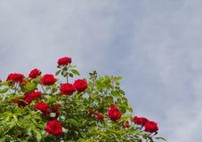 Roter Rosenbusch Stockfotos