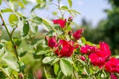 Roter Rosenbusch auf grünem Gartenhintergrund lizenzfreies stockbild