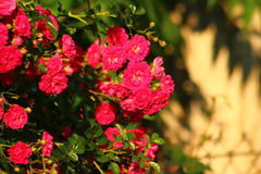 Roter Rosengarten Lizenzfreie Stockfotos
