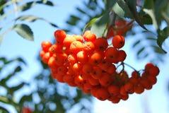 Roter Rowan Fruits Lizenzfreie Stockbilder
