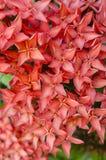 Roter Rubiaceae Stockbild