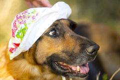 Roter Schäferhund mit dem Hut des Kindes auf Kopf Lizenzfreies Stockbild