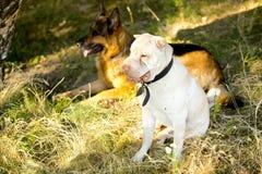 Roter Schäferhund und Sharpay-Hund auf Gras Lizenzfreies Stockfoto