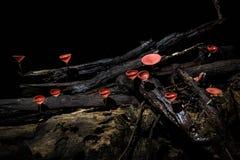 Roter Schalenpilz auf einer Niederlassung Stockfotos