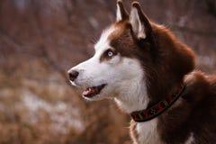 Roter Schlittenhund Stockbilder