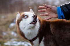 Roter Schlittenhund Lizenzfreies Stockbild