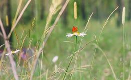 Roter Schmetterling auf einem Gänseblümchen Lizenzfreie Stockbilder