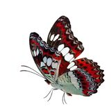 Roter Schmetterling des schönen Fliegens, gemeiner Kommandant (moduza procris) mit den ausgedehnten Flügeln im fantastischen Farb stockfoto