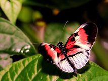 Roter, schwarzer u. weißer Klavierschlüssel, Longwing-Schmetterling Stockfotografie