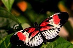 Roter, schwarzer u. weißer Longwing-Schmetterling, Klavierschlüssel Stockfoto