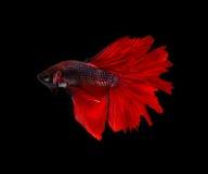 Roter siamesischer kämpfender Fischhalbmondschmetterling, betta Fisch lokalisiert auf schwarzem Hintergrund Lizenzfreie Stockfotografie
