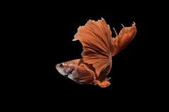 Roter Siamesischer Kampffisch auf schwarzem Hintergrund Lizenzfreies Stockbild