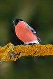Roter Singvogel Bullfinch, das auf gelber Flechtenniederlassung, Sumava, Tschechische Republik sitzt Lizenzfreies Stockbild