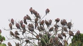 Roter Türkentaubegruppenvogel in Thailand, Asien stock video footage