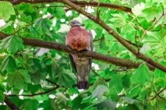 Roter Türkentaubevogel, der auf einem Baumast allein und ruhig steht lizenzfreies stockfoto